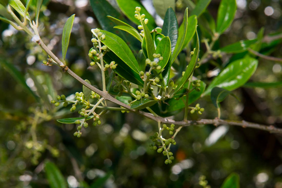 Le Mignole i fiori dell'olivo