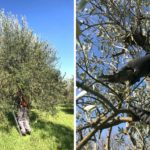 La potatura degli ulivi
