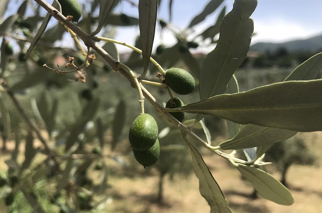 La crescita dei frutti per l'olio di oliva