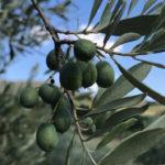 settembre le nostre olive
